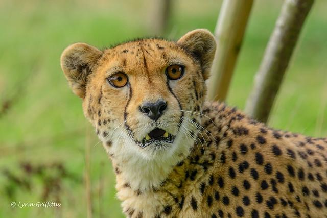 Cheetah - look into my eyes! 710_0996.jpg