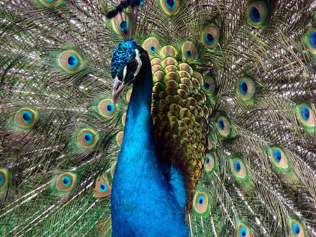 104 Peacock