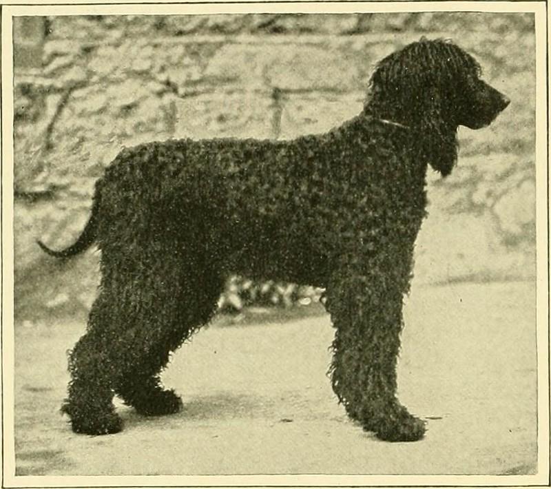 Ierse waterspaniël - Dog Scanner