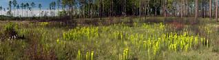 Conecuh National Forest Panoramic, Sarracenia flava var. rugellii and Sarracenia leucophylla after early spring controlled burn, Covington County, Alabama | by Brad Wilson, DVM