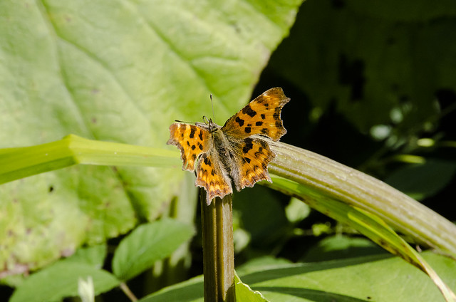 Comma, Weir Garden NT, Herefordshire