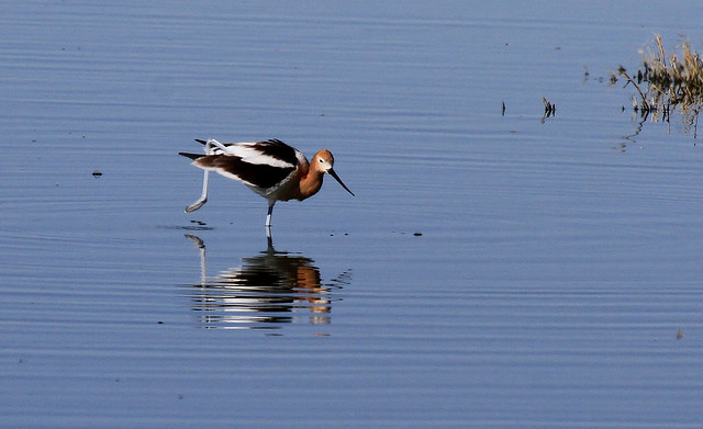 Avocette d'Amérique - Willcox Lake/AZ/USA_20140416_033-1