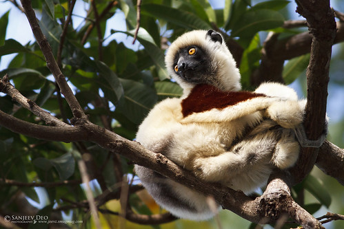 Coquerel's Sifaka | by Sanjeev Deo