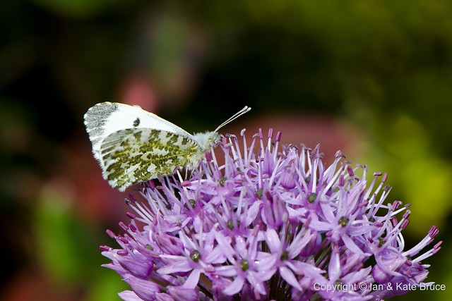 Roosting on the Allium: a female Orange-tip Butterfly