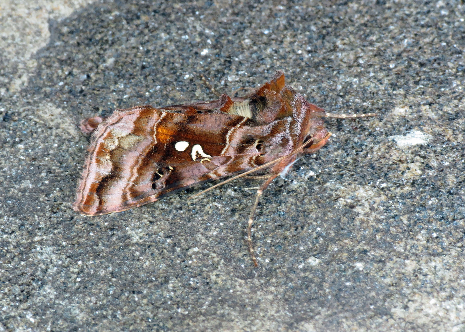 2442 Beautiful Golden Y - Autographa pulchrina