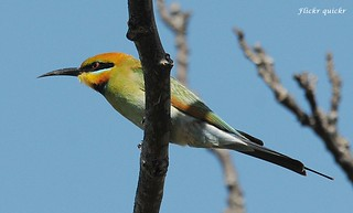 Rainbow Bee-eater | by flickr quickr
