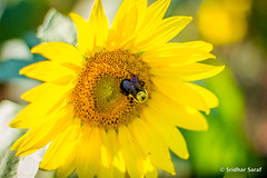 Sunflowers at McKee-Beshers Wildlife Management Area, Maryland (USA) - July 2014
