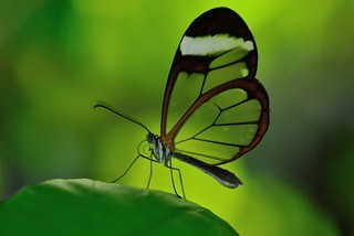 Glasswinged Butterfly | by m.shattock