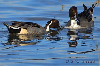 Pintails (Anas acuta) male | by Brian Carruthers-Dublin-Eire