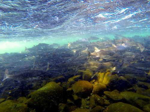Swimming with salmon in the Campbell River
