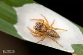 Jumping spider (Cytaea oreophila) - DSC_3994