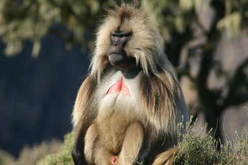 Gelada Baboon, Simien Mountains National Park, Ethiopian Highlands | by Leonard A. Floyd