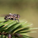 Ordinary fly on pine leaves