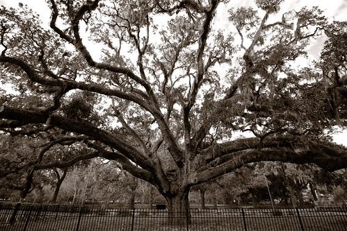 newyearseve savannah georgia us tree oak ancient monochrome blackandwhite sepia landscape dorameulman beautiful goodbyeoldyear