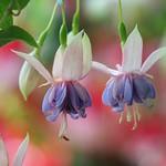 フクシア/Fuchsia hybrida