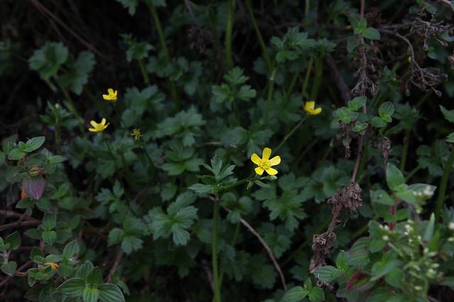 [Ranunculaceae] Ranunculus sp