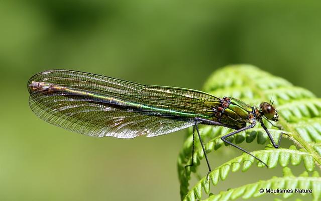 IMG_9747. BANDED DEMOISELLE (Calopteryx splendens) female