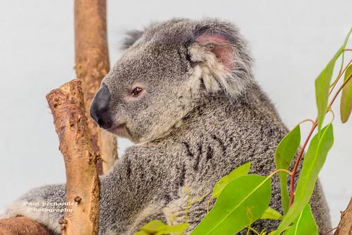 tampa zoo florida koala koalabear lowryparkzoo tampazoo lowrypark tampalowryparkzoo
