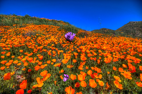 walkercanyon lakeelsinore california southerncalifornia californiapoppy poppies flowers blooms color gold