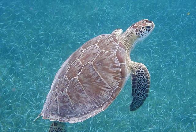 2014-05-09_10-52-18 Sea Turtle at Tintamarre Island