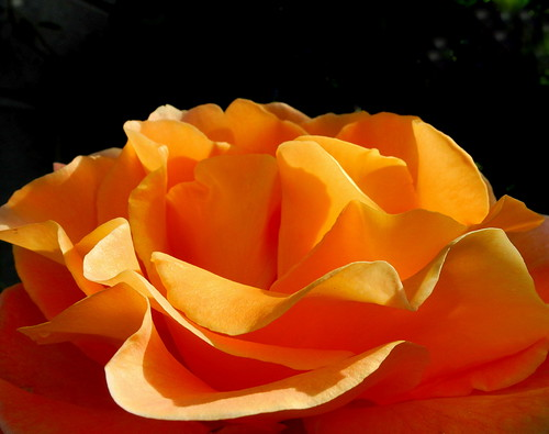 Morning Rose | by p.a.m.K