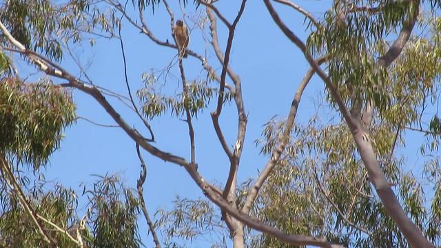MVI_0630 red tailed hawk calling