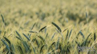 Getreide | Projekt 365 | Tag 164