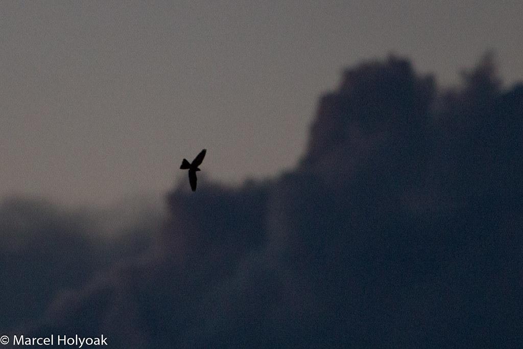 Band-tailed Nighthawk in silhouette (Nyctiprogne leucopyga), Piuval Lodge, Pocones, Pantanal, BR, 2014-04-07--101