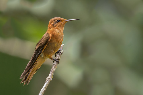 birding aves birdwatching avesdecolombia birdsofcolombia birdingcolombia