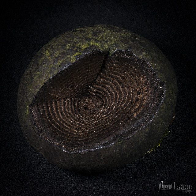 Daldinia concentrica - daldinie concentrique