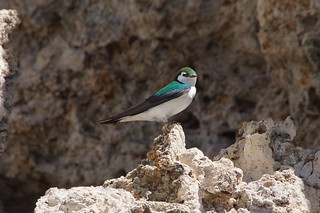 Violet-green swallow | by rob stoeltje