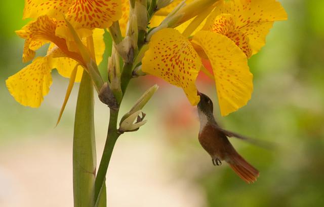 Amazilia Hummingbird.