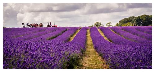 comma kent lavender mayfield butterfly farm field ride summer2014 tractor