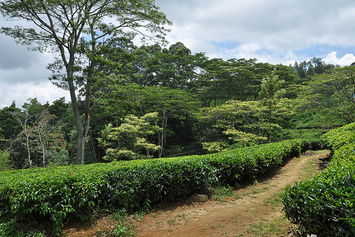 travel ceylon srilanka southasia asia teaplantations tea green landscape pussellawa dnysmphotography dnysmsmugmugcom