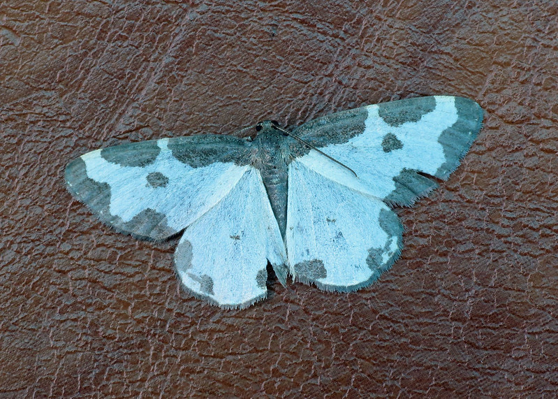 1887 Clouded Border - Lomaspilis marginata
