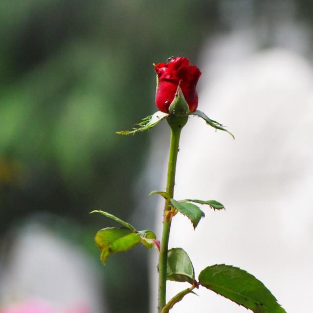 Goodmorning Rose Red Green Flower Flowers Amazing Flickr