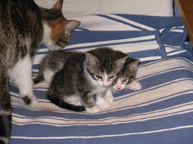 Sol and Luna, brown tabby kittens, with their mother Shimmer