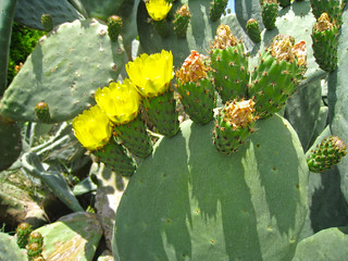 Wild Cacti seen by the roadside in the middle of nowhere.