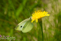 Cabbage White Butterfly-6999