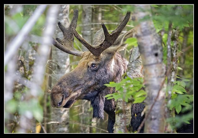 Moose Camouflage...{Explored}