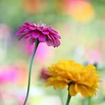 ジニア・黄色+紫