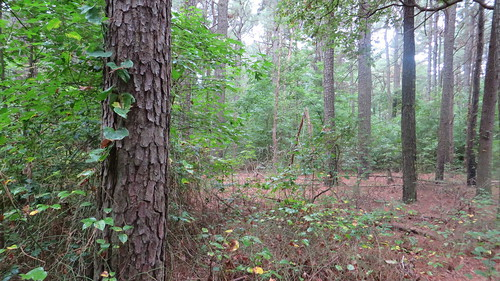 trees nature pine woods loblolly pinegrove
