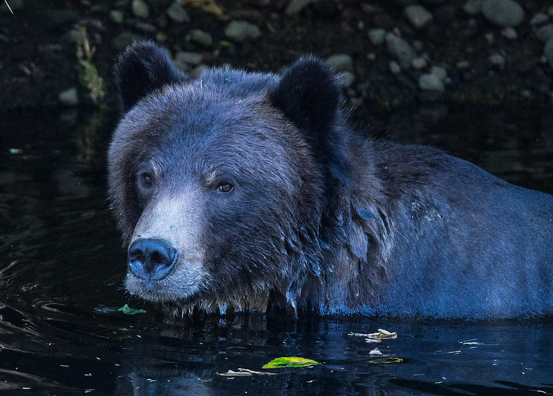 Grizzly taking a bath