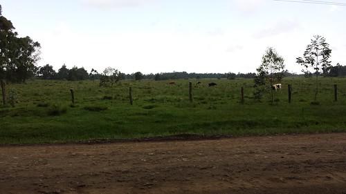 kenya kenyawork cattle cows grazing