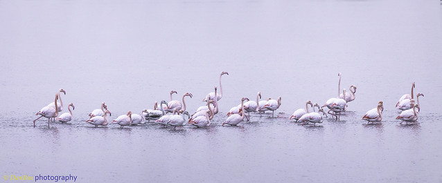 Band of Flamingos marching