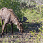 The Moose of Moose, Wyoming
