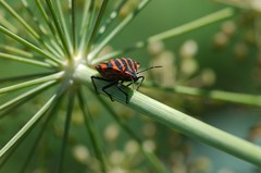 striped bug (Graphosoma lineatum)