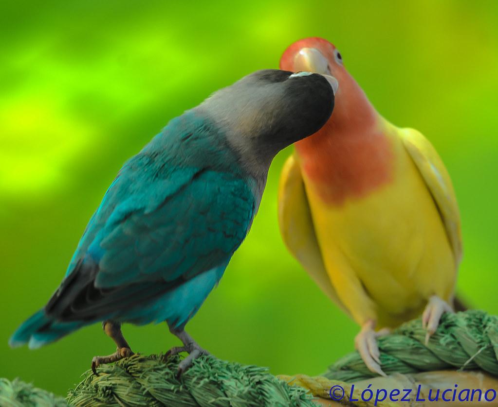Inseparable De Color Azul Y De Color Amarillo Agapornis Roseicollis