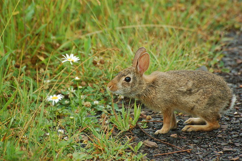 wild rabbit bunny md maryland western eastern juvenile garrettcounty natureconservancy cottontail easterncottontail sylvilagusfloridanus tnc finzelswamp