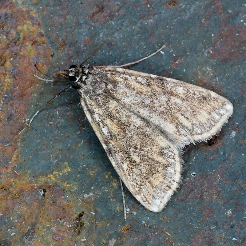 1345 Brown China-mark - Elophila nymphaeata